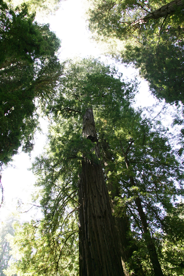Redwood Trees at Muir Woods Mill Valley, California.