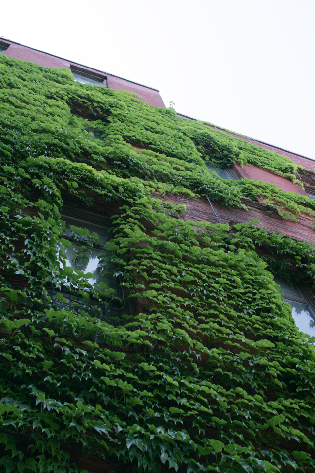 Brooklyn NY ivy covered building.