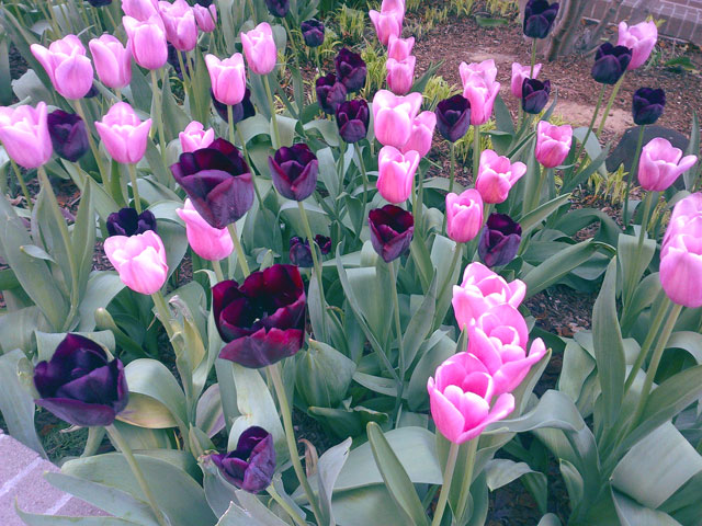 Pink and purple tulips in NYC.